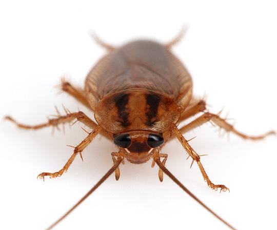 german_cockroach2